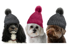 Dogs with bobble hat. Three dogs with bobble hats on white Royalty Free Stock Photos