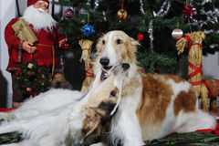Dogs, borzoi hounds with christmas greetings Royalty Free Stock Photo