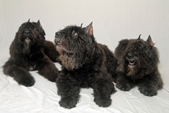 Dogs - Bouvier des Flanders Royalty Free Stock Image