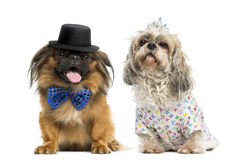 Dogs with a bow tie and top hat. Pekingese with a bow tie and top hat sitting next to a Shih tzu wearing a crown and a shirt Royalty Free Stock Image
