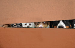 Dogs in a box. Five dogs hidden in a moving box Stock Images