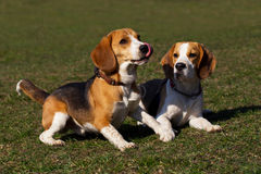 Dogs breed beagle Royalty Free Stock Photography