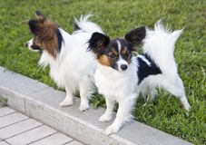 Dogs of breed papillon Royalty Free Stock Images