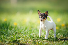 Dogs Breed Toy Fox Terrier Puppy Royalty Free Stock Photo