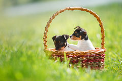 Dogs breed Toy fox terrier puppy Stock Image