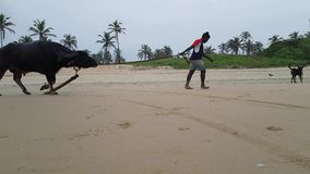 Dogs and a Bull on the Beach in Goa India stock footage