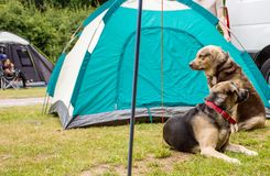 Dogs in a camping. Young man assembling dome tent with dogs stock image