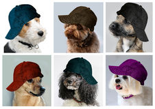 Dogs with caps. Collage of dogs wearing jeans caps Stock Photos