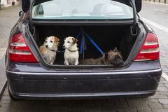 Dogs in a Car Boot. Three dogs waiting patiently for their owner in the boot of a car royalty free stock image