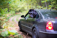Dogs in car Stock Photography