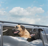 Dogs on a Car Ride Stock Photo