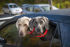 Dogs in car. Two weimaraner dogs looking out of car window in parking lot Stock Photos