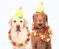 Dogs, Carnival, Humor, Pet, Ernst Stock Photo