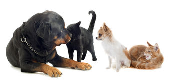 Dogs and cat Royalty Free Stock Image