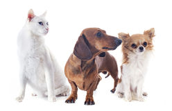 Dogs and cat Royalty Free Stock Photography