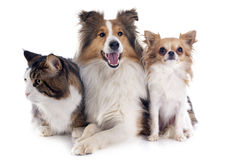 Dogs and cat. Portrait of a purebred shetland dog, chihuahua and maine coon cat in front of white background Royalty Free Stock Photos