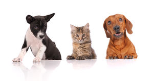 Dogs and cat together Royalty Free Stock Image