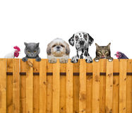 Dogs, cats, chicken and cock look through a fence.  Royalty Free Stock Photos
