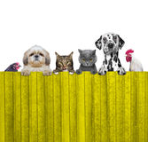 Dogs, cats, chicken and cock look through a fence. Isolated Royalty Free Stock Photos