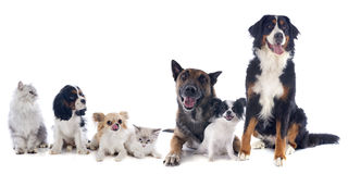 Dogs and cats. Seven dogs and cat in front of white background Royalty Free Stock Image