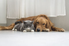 Dogs and cats snuggle together Stock Photos