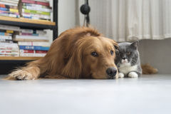 Dogs and cats snuggle together Royalty Free Stock Photography