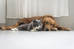Dogs and cats snuggle together Royalty Free Stock Image