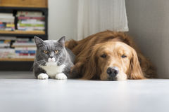 Dogs and cats snuggle together Stock Images