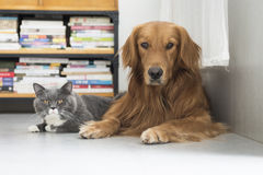 Dogs and cats snuggle together Royalty Free Stock Images
