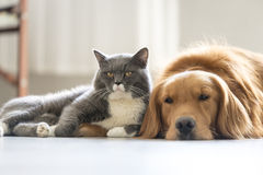 Dogs and cats snuggle together. Indoor shooting Royalty Free Stock Images