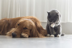 Dogs and cats snuggle together Royalty Free Stock Photo
