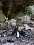 Dogs in a cave stock photography