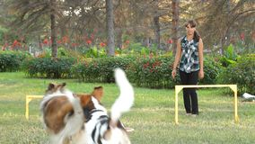 Dogs Chase The Ball. A girl playing ball with her two dogs in the park stock video footage