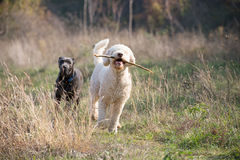 Dogs chase. Two dogs chase during a walk Royalty Free Stock Photo