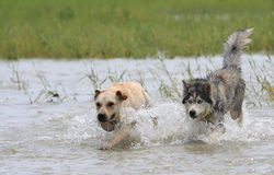 Dogs chasing. A Alaskan Malamute is running after a Stock Image