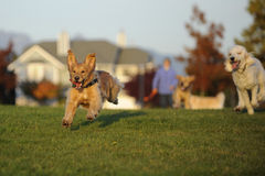 Dogs Chasing a Ball Royalty Free Stock Image