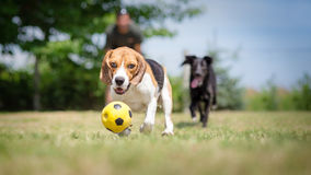 Dogs chasing a ball. Dogs chasing a soccer ball stock photography