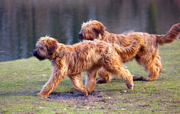Dogs chasing each other Stock Images
