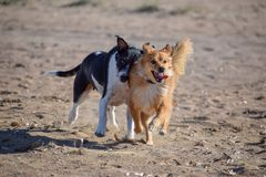 Dogs chasing each other in the beach royalty free stock images