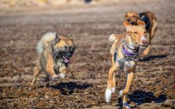 Dogs chasing each other on the beach royalty free stock photography