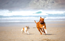 Dogs chasing Royalty Free Stock Image