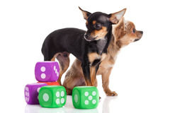 Dogs chihuahua and cubes  isolated on white background pet and toys Stock Image