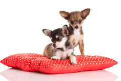 Dogs chihuahua isolated on white background Stock Photo