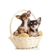 Dogs chihuahua isolated on white background Stock Image