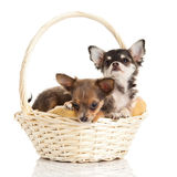 Dogs chihuahua isolated on white background pets gift congratulation Royalty Free Stock Photos