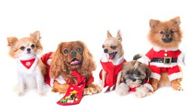 Dogs and christmas stock image