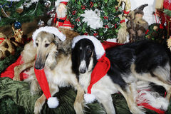 Dogs with christmas greetings Stock Photography