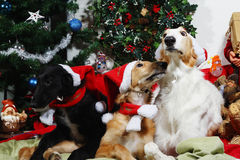 Dogs with christmas greetings Royalty Free Stock Photography