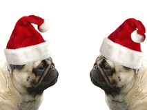 Pugs with Christmas hats. A pair of pugs with Christmas hats isolated on white background Stock Image