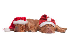 Dogs with Christmas hats stock image
